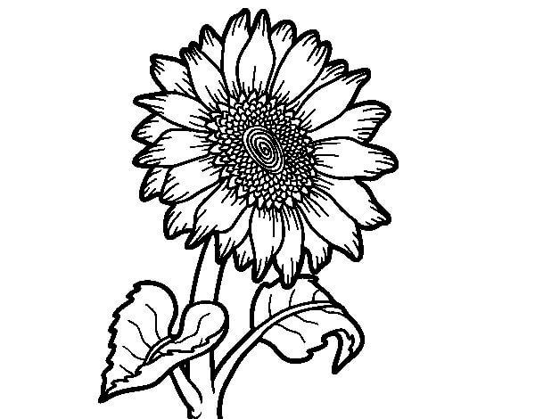 Flor Girasol Dibujo Facil