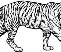 Dibujos de Tigres a lápiz