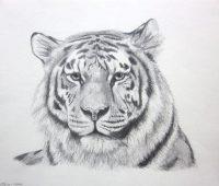 Dibujos de Tigres gratis