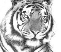 Dibujos de Tigres realista
