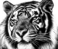 Dibujos de Tigres rostro