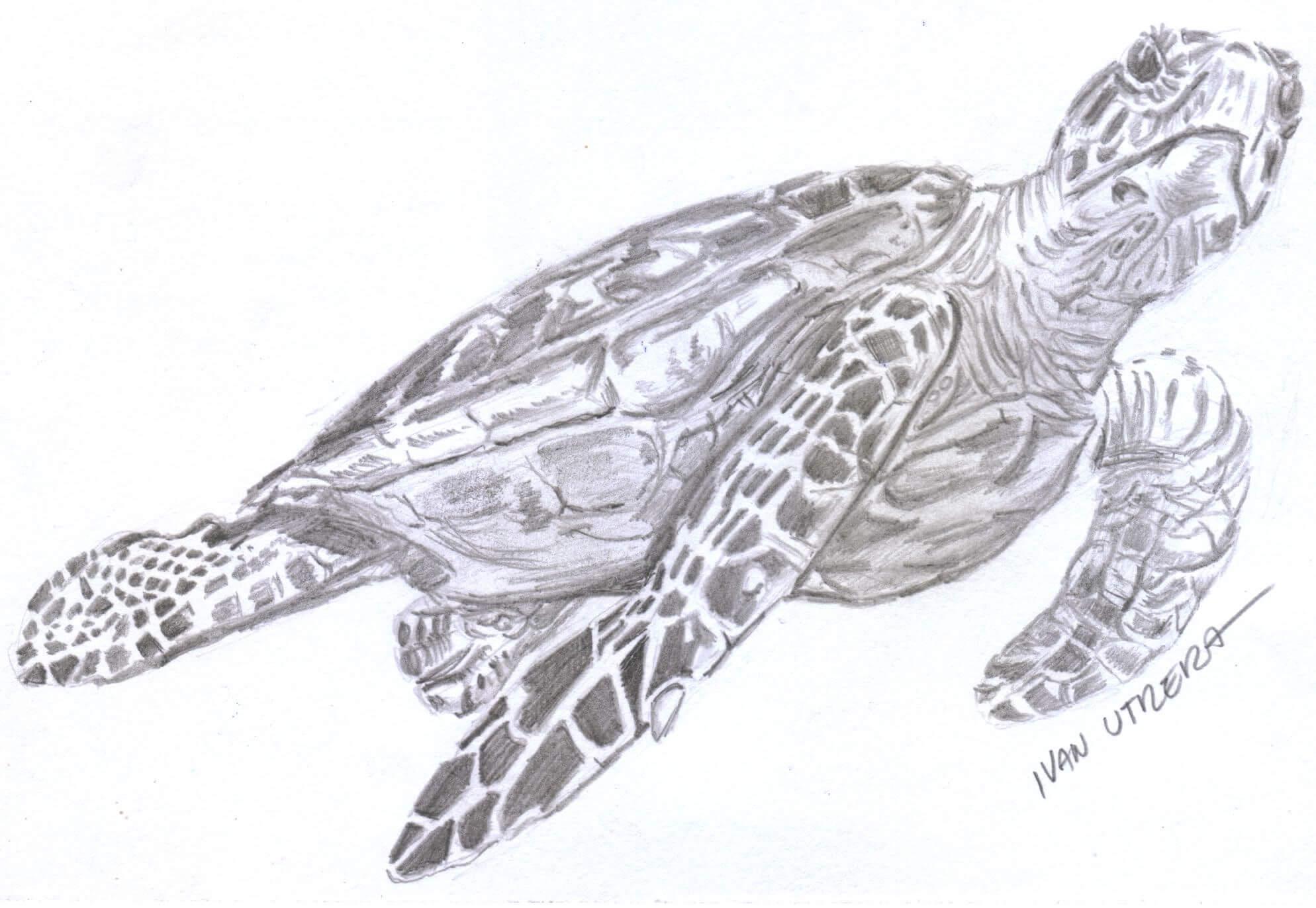 Dibujos De Tortugas Hechos A Lápiz
