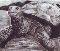 Dibujos de Tortugas a Lápiz
