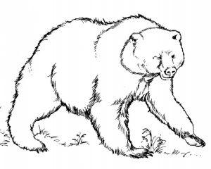 oso en lápiz