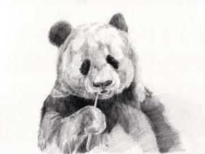 oso panda a lápiz