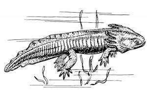dibujos axolotl